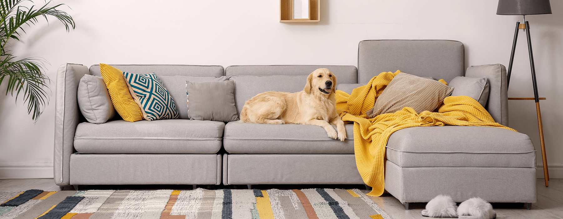 lifestyle image of a golden retriever dog on a modern couch